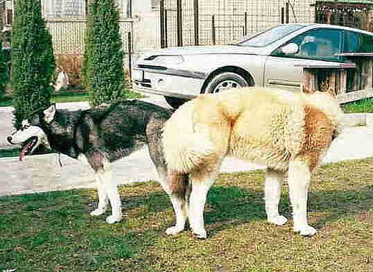 a kutyának nincs merevedése)