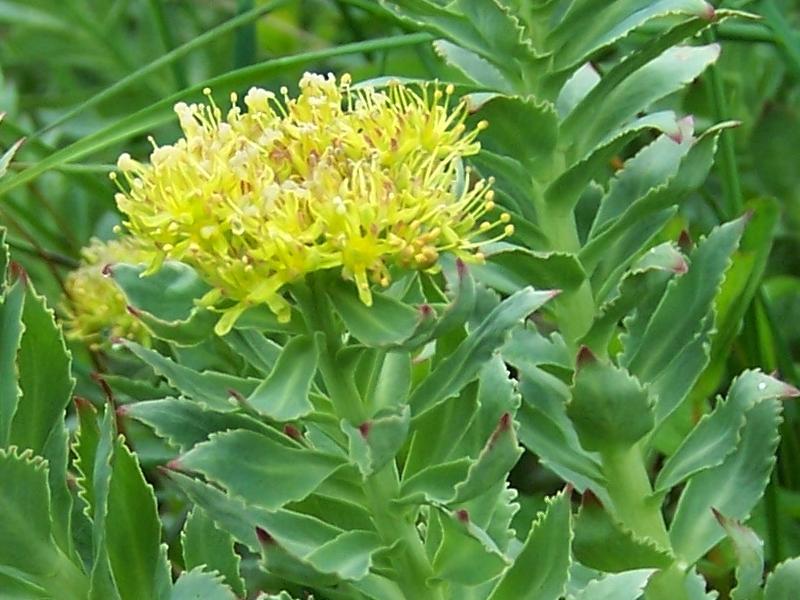 Növényi ajzószerek