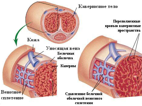 a pénisz erekciós mechanizmusa)