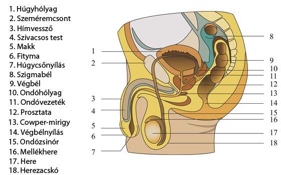 a pénisz elhelyezkedésének típusai milyen esetekben zsugorodhat a pénisz