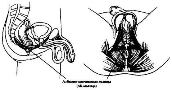 milyen gyakorlatokkal növelhető a pénisz