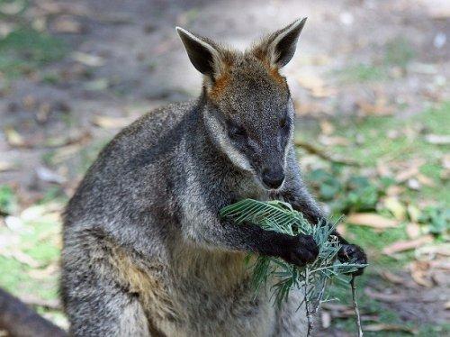 Három vaginája van a kengurunak | hu