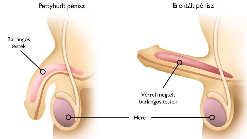 a pénisz a herékhez tapad a pénisz gyengén emelkedik