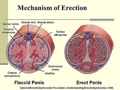 az erekció gyengítette a magömlést miért tűnik el egy merevedés csak reggel