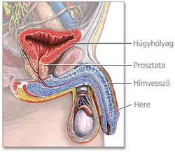A férfi nemi szervek anatómiája
