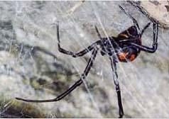pók, amelyből merevedés