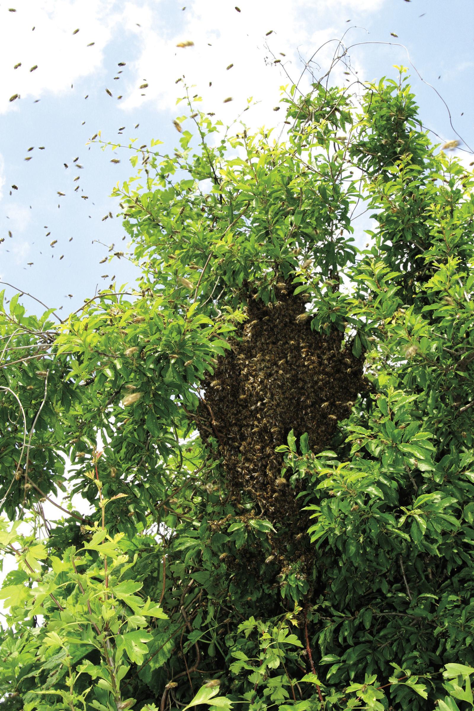 méheket teszünk a péniszre