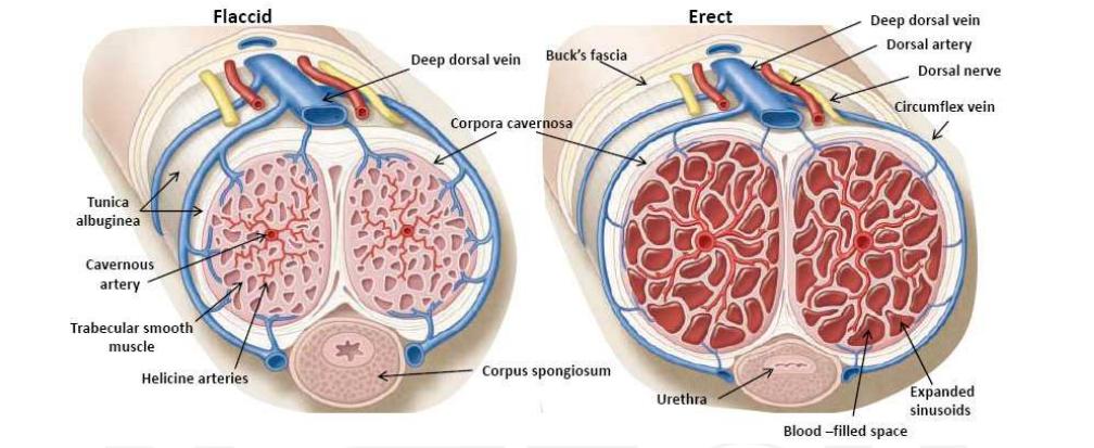 a pénisz erekciós mechanizmusa