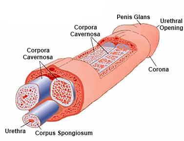 az erekció során a pénisz meghajlik)