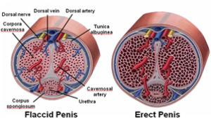 hypothyreosis erekció)