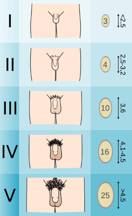 hormonok a pénisz növekedéséhez