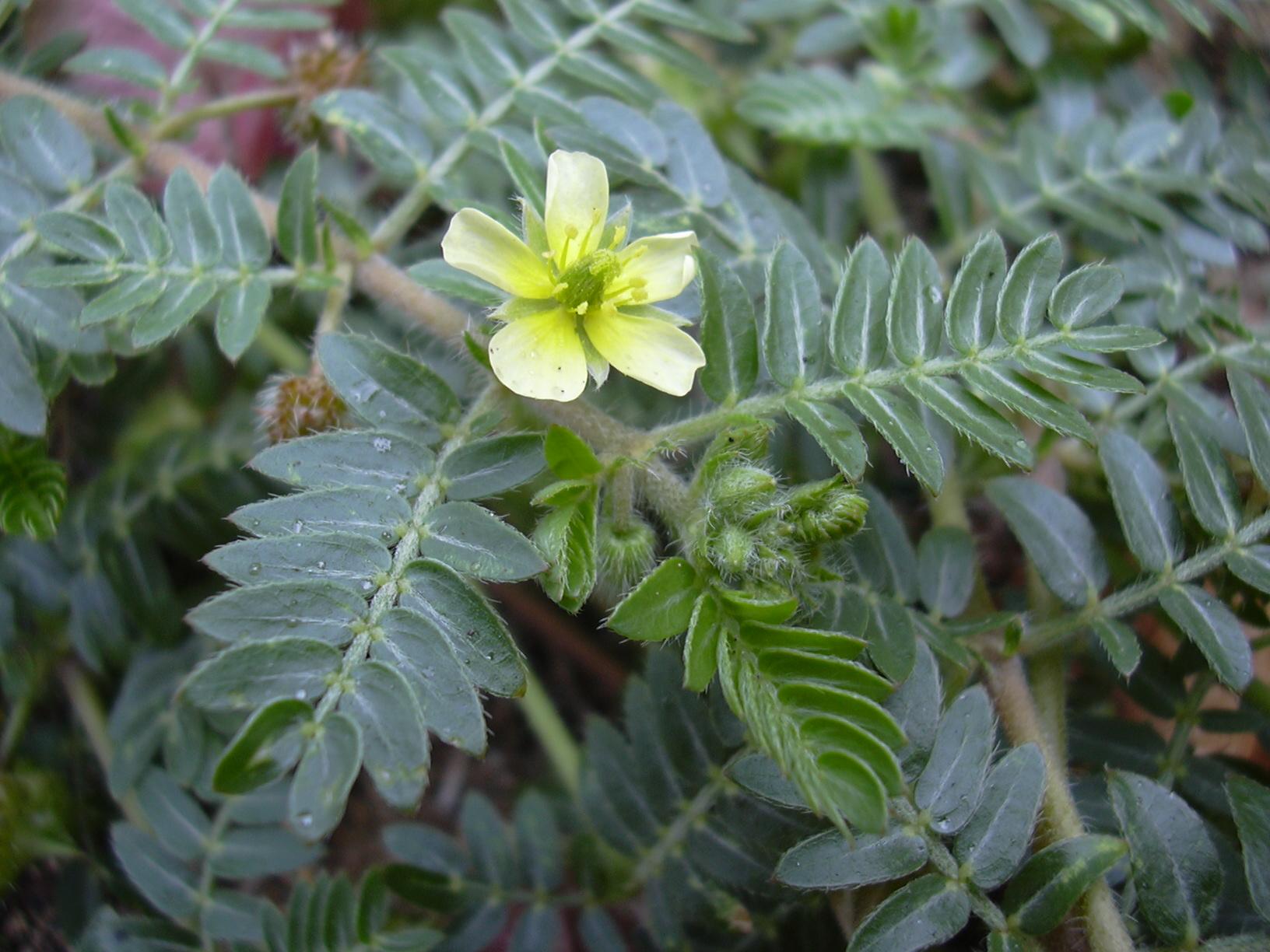 erekciót fokozó növények)