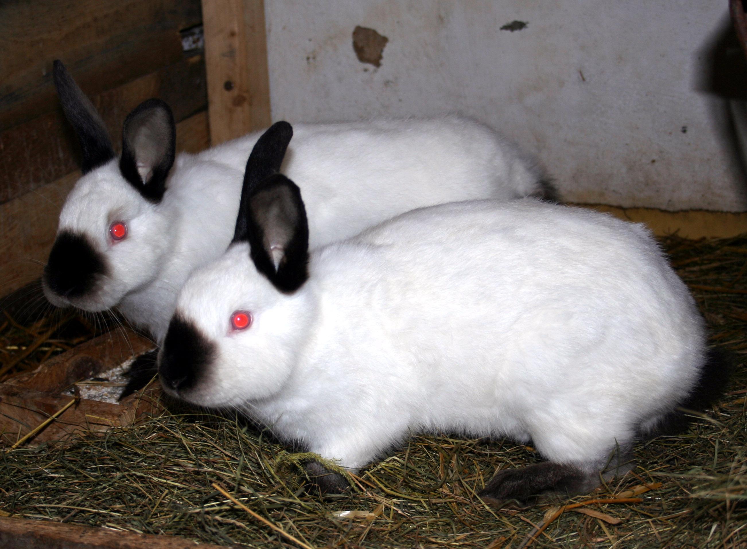 GY. I. K. :: Royal Bunny törpenyúl mini nyuszi