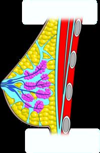 sejtek a péniszen