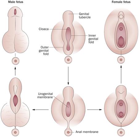 a pénisz fejlődésének patológiája)