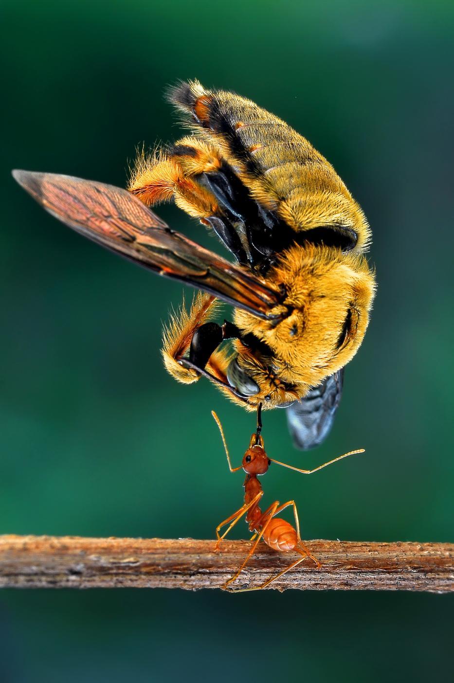 hangyák a péniszen