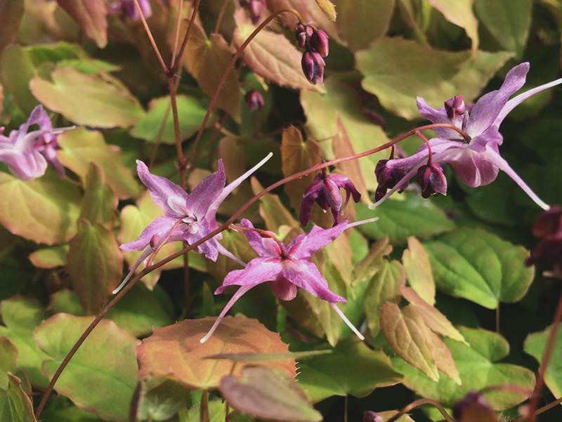 erekciót fokozó növények