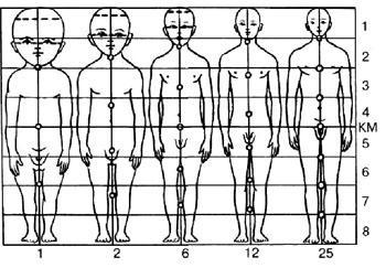 a pénisz szerkezete az anatómiában
